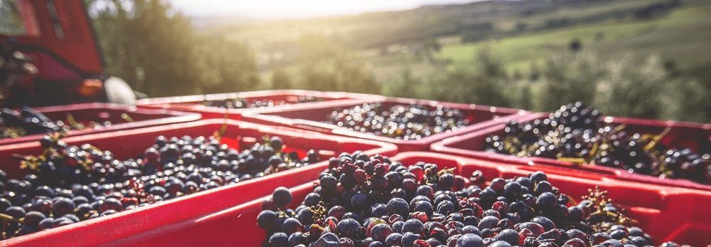 Grape harvesting in Colorado to produce the best of Denver wine.